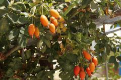 Граната гранатового дерева плодоовощ дерева гранатового дерева Стоковое Фото