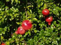 Гранатовое дерево Стоковая Фотография