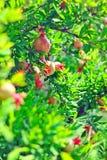 Гранатовое дерево на дереве Стоковые Изображения RF
