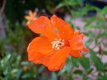 Гранатовое дерево цветка Стоковые Изображения