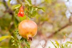 Гранатовое дерево. Стоковое Изображение