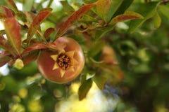 Гранатовое дерево Стоковое Изображение