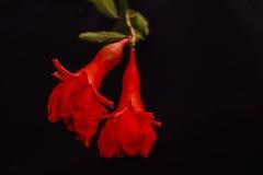 Гранатовое дерево Bebi Стоковые Фотографии RF