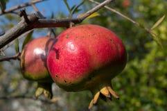 Гранатовое дерево (granatum Punica) стоковые изображения