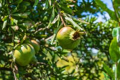 Гранатовые деревья вися на ветви Стоковые Фото