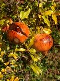 Гранатовые деревья Стоковое Изображение RF