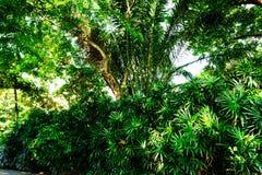 Грандиозные ветви деревьев на солнечный день в тропическом Бангкока стоковое изображение rf