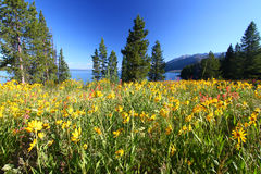 грандиозные wildflowers tetons Стоковые Изображения