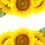 Граница больших солнцецветов с космосом экземпляра стоковое изображение
