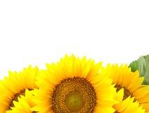 Граница больших солнцецветов с одним зеленым листом стоковое фото