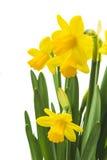 Граница весны флористическая, красивый свежий narcissus цветет Стоковое фото RF