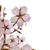 Граница вишни Стоковое Изображение RF