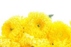 Граница желтых цветков мамы Стоковые Фото