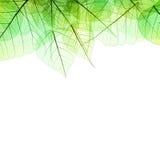 Граница зеленых прозрачных листьев - изолированных на белизне Стоковые Изображения RF