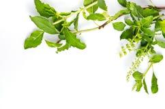 Граница лист базилика на белой предпосылке для декоративного графика res Стоковые Фото