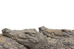 Граница крокодила Нила Стоковое Фото