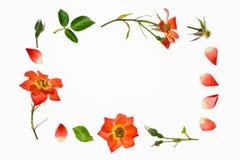 Граница розы апельсина на белой предпосылке Стоковые Фото