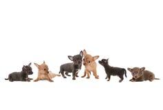 Граница собаки чихуахуа Стоковое Фото