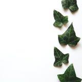 Граница с листьями плюща Стоковые Изображения RF