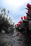Граница тюльпана Стоковое Изображение