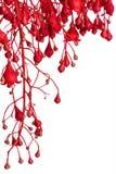 Граница цветка дерева пламени красная над белизной Стоковое Изображение RF