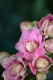 Граница цветка Calandiva Стоковые Изображения