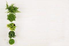 Граница Minimalistic декоративная зеленых заводов хвои в взгляд сверху баков на белой предпосылке деревянной доски Стоковая Фотография