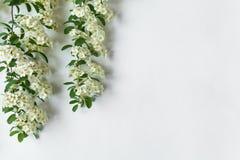 Граничьте рамку цвести ветви завода невест arguta Spirea на белой таблице Плоское положение, взгляд сверху стоковое фото rf