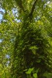 Грандиозное дерево при лозы взбираясь полностью до сени в w стоковые изображения rf
