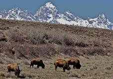 Грандиозное и буйвол Стоковое Изображение RF