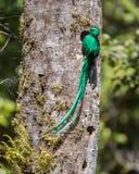 Грандиозный великолепный Quetzal Стоковые Изображения