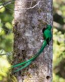 Грандиозный великолепный Quetzal Стоковое Изображение RF