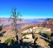Гранд-каньон и старый сухой передний план дерева Стоковая Фотография