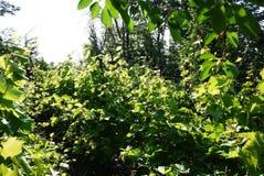 График для растя виноградин Солнечный свет освещает листья o стоковое фото