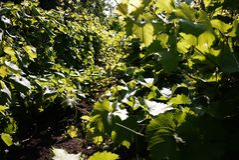 График для растя виноградин Солнечный свет освещает листья o стоковая фотография rf