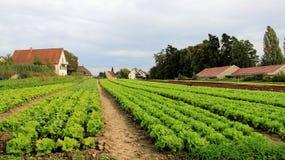 График поля салата Vegetable Стоковые Фотографии RF