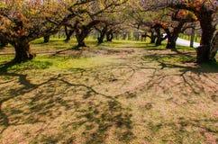 График собрания японского абрикоса Стоковое Изображение