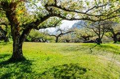 График собрания японского абрикоса Стоковые Фото