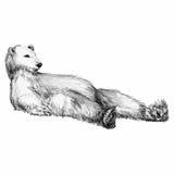 Графически рисовать лежать медведя Стоковая Фотография