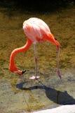 Грациозно американский красный фламинго в озере Стоковая Фотография RF