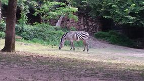 грациозно зебра Стоковое фото RF
