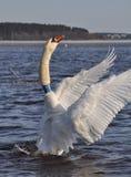 Грациозно лебедь на озере Стоковая Фотография