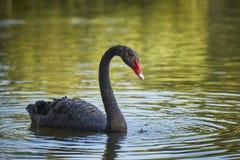 Грациозно мужчина черного лебедя Стоковые Изображения RF