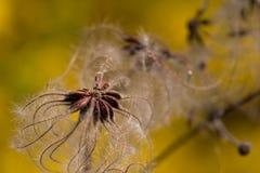 грациозно семена Стоковая Фотография RF