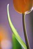 грациозно тюльпан Стоковые Изображения RF