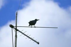 Грачонка мониторы близко с антенной ТВ Стоковая Фотография