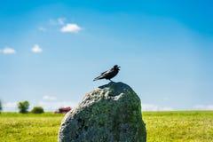 Грачонок британцев на камне Стоковое Фото
