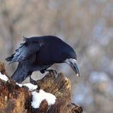 грачонок prey журнала снежный Стоковые Фотографии RF