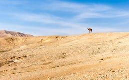 Гребень горы пустыни верблюда стоящий верхний, Израиль Стоковые Фотографии RF