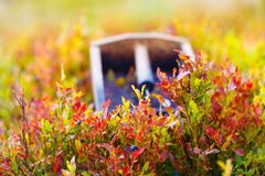 Гребень для выбирать голубики Красивые фото и предпосылка нерезкости Стоковые Изображения RF